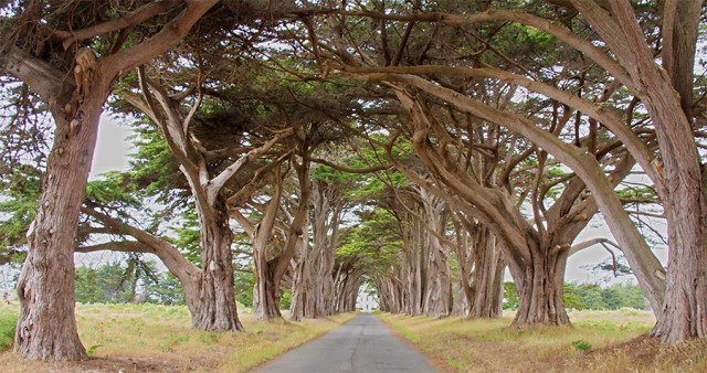 Cypress Tree Tunnel Pt Reyes